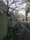 Sakura_02